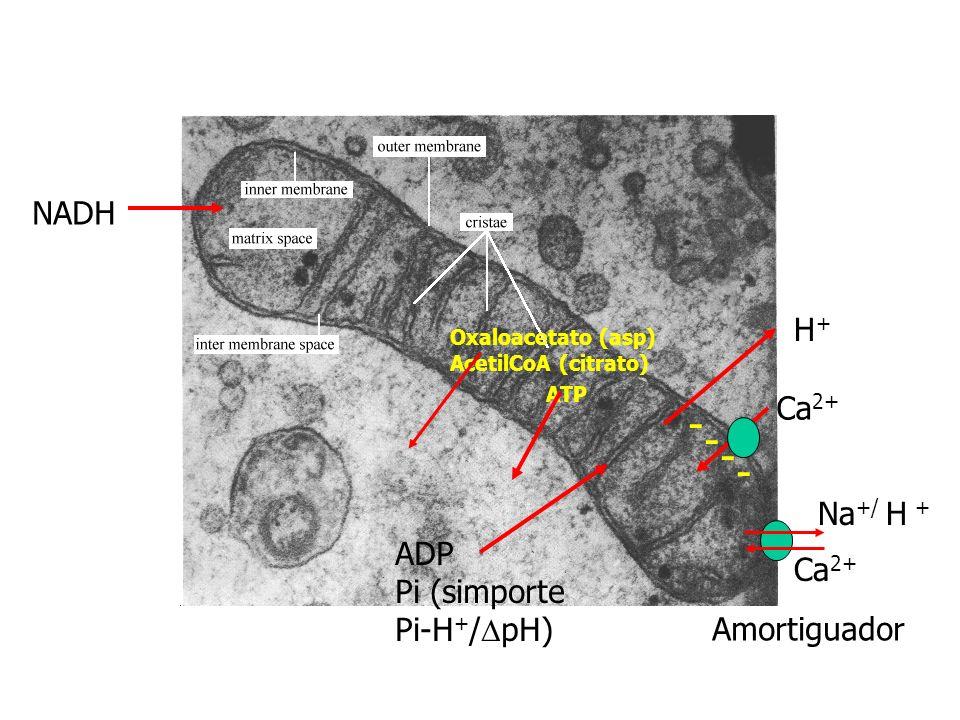 - NADH H+ Ca2+ Na+/ H + ADP Pi (simporte Pi-H+/DpH) Amortiguador