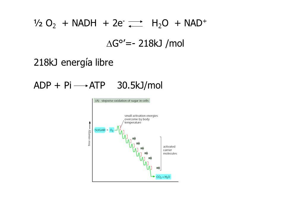 ½ O2 + NADH + 2e- H2O + NAD+DG°'=- 218kJ /mol.