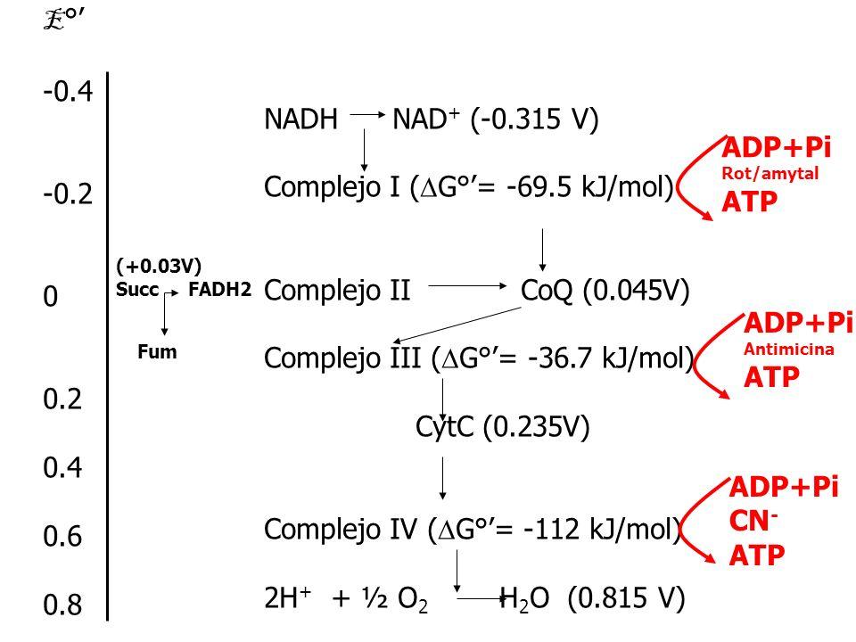 Complejo I (DG°'= -69.5 kJ/mol)