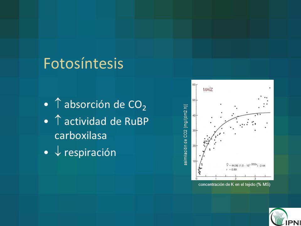 Fotosíntesis  absorción de CO2  actividad de RuBP carboxilasa