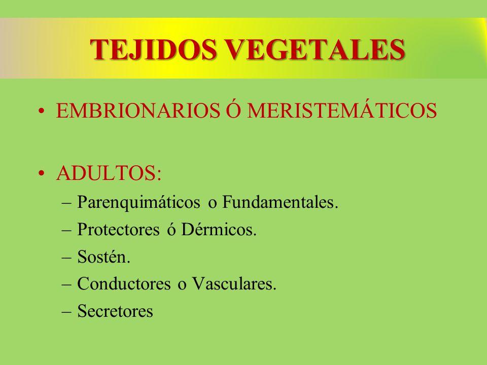 TEJIDOS VEGETALES EMBRIONARIOS Ó MERISTEMÁTICOS ADULTOS: