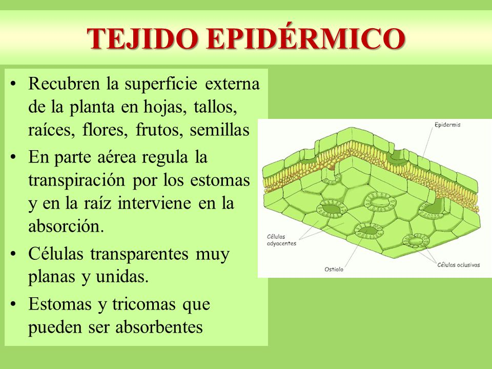 TEJIDO EPIDÉRMICO Recubren la superficie externa de la planta en hojas, tallos, raíces, flores, frutos, semillas.
