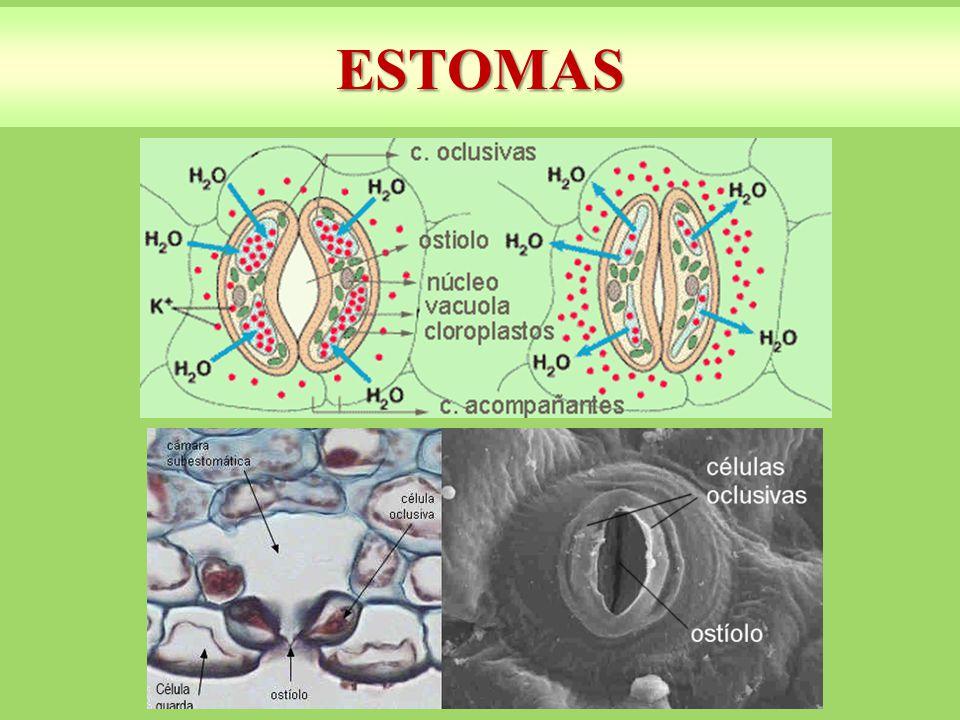 ESTOMAS