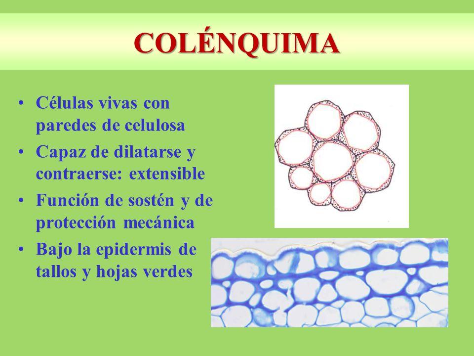COLÉNQUIMA Células vivas con paredes de celulosa