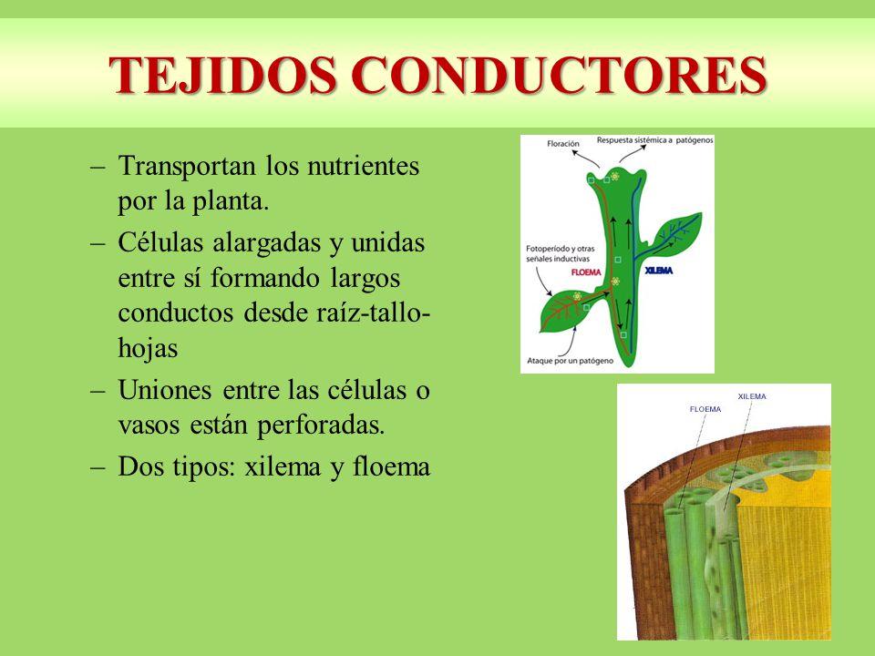 TEJIDOS CONDUCTORES Transportan los nutrientes por la planta.