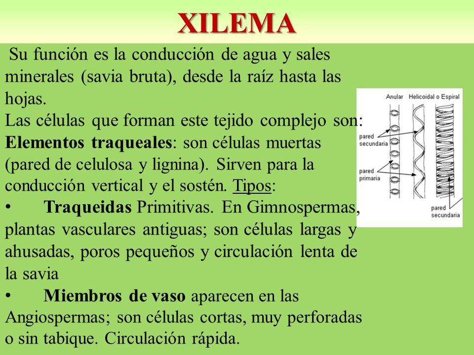 XILEMA Las células que forman este tejido complejo son: