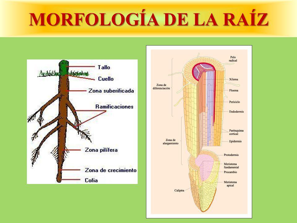 MORFOLOGÍA DE LA RAÍZ