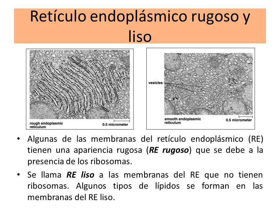 Retículo endoplásmico rugoso y liso