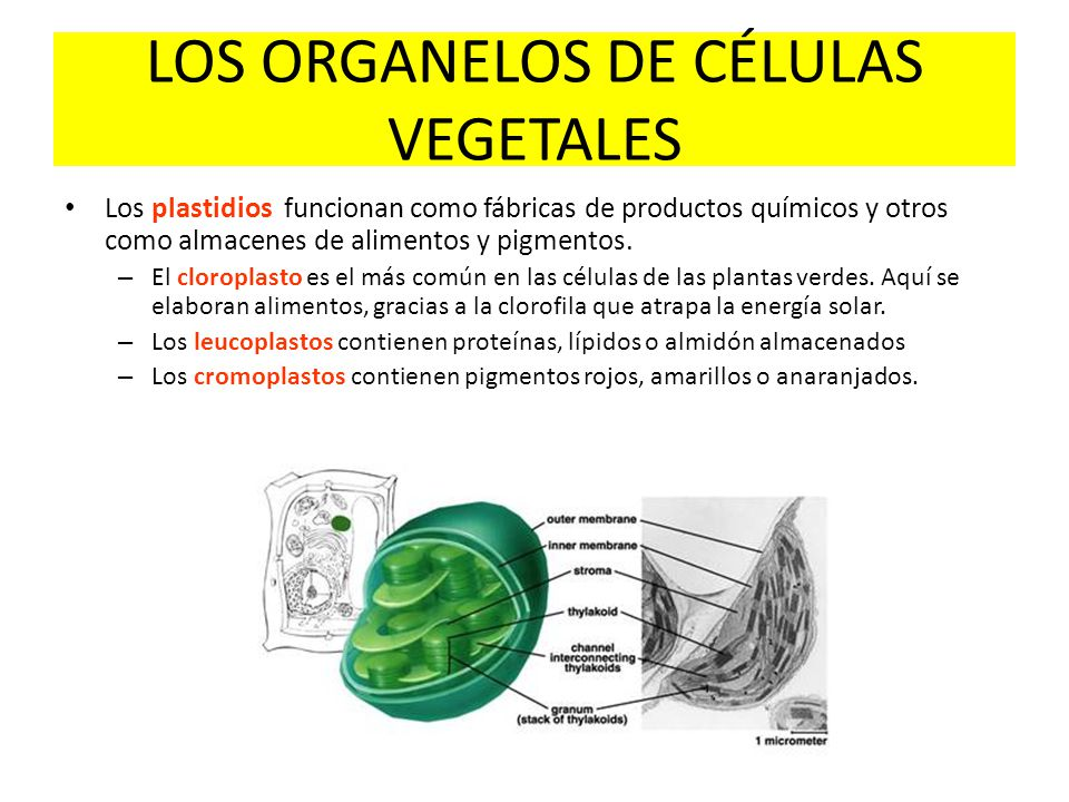 LOS ORGANELOS DE CÉLULAS VEGETALES
