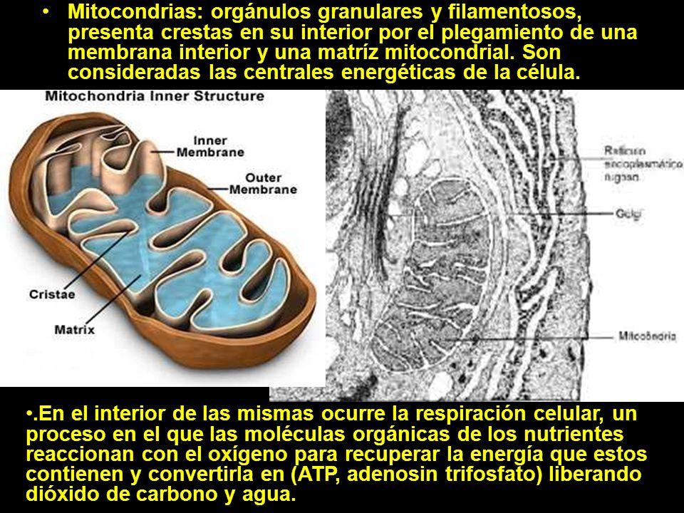 Mitocondrias: orgánulos granulares y filamentosos, presenta crestas en su interior por el plegamiento de una membrana interior y una matríz mitocondrial. Son consideradas las centrales energéticas de la célula.