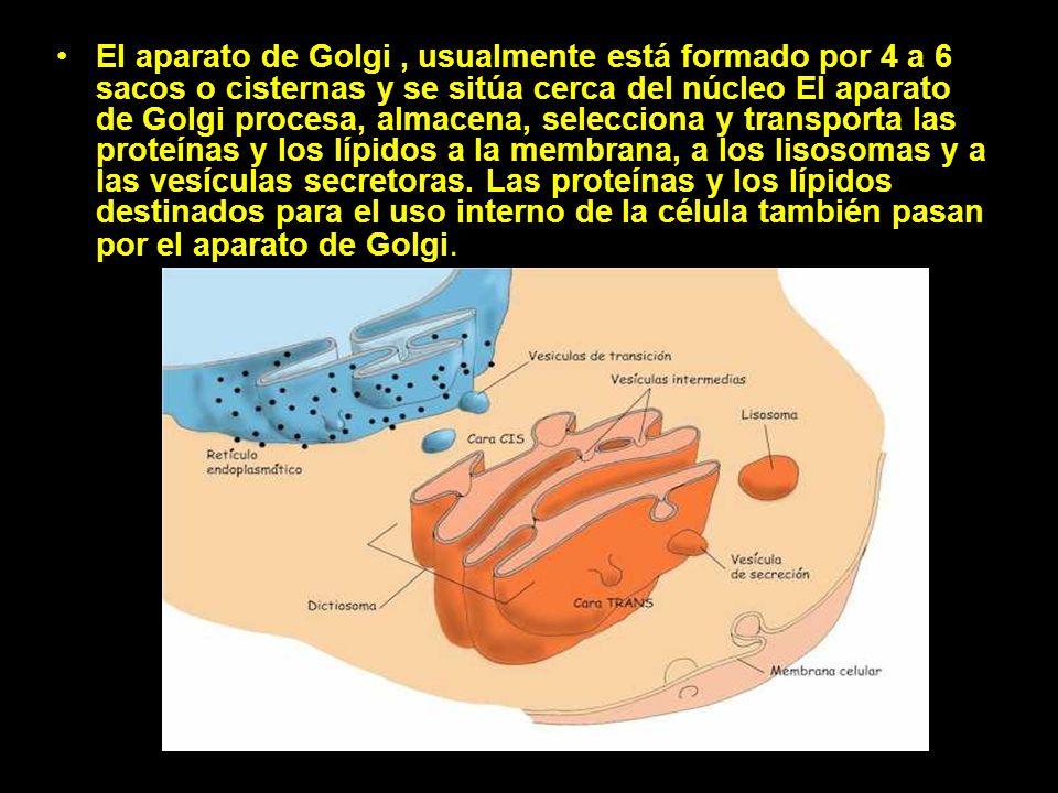 El aparato de Golgi , usualmente está formado por 4 a 6 sacos o cisternas y se sitúa cerca del núcleo El aparato de Golgi procesa, almacena, selecciona y transporta las proteínas y los lípidos a la membrana, a los lisosomas y a las vesículas secretoras.