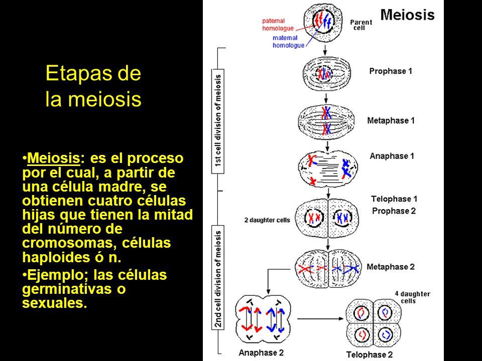 Etapas de la meiosis