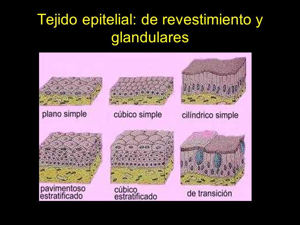 Tejido epitelial: de revestimiento y glandulares