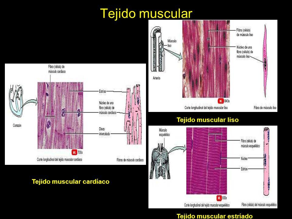 Tejido muscular Tejido muscular liso Tejido muscular cardíaco