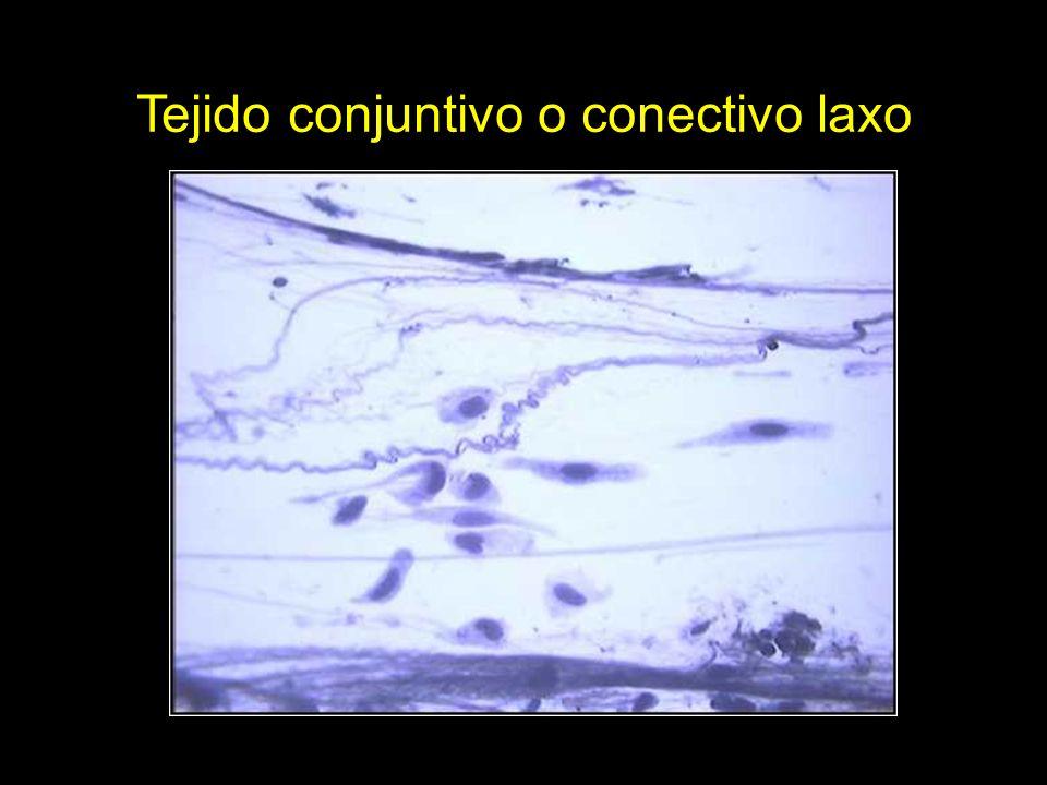 Tejido conjuntivo o conectivo laxo