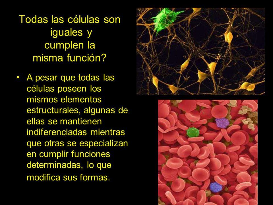 Todas las células son iguales y cumplen la misma función