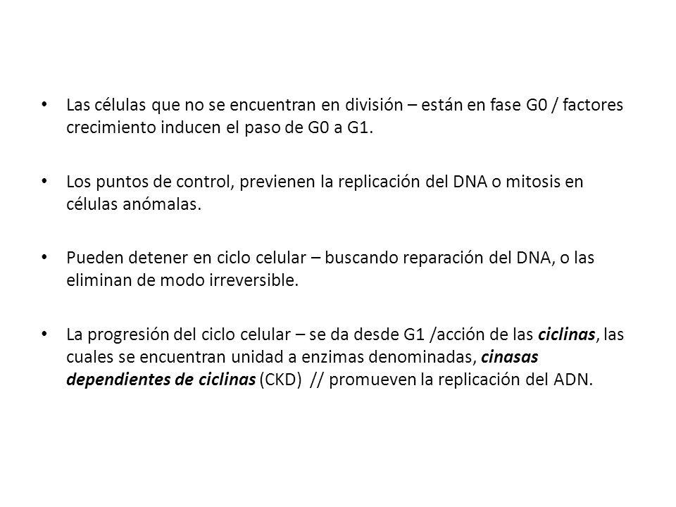 Las células que no se encuentran en división – están en fase G0 / factores crecimiento inducen el paso de G0 a G1.