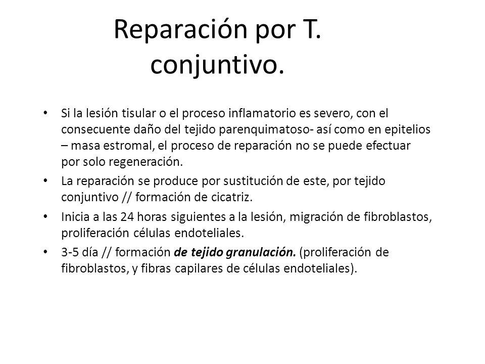 Reparación por T. conjuntivo.