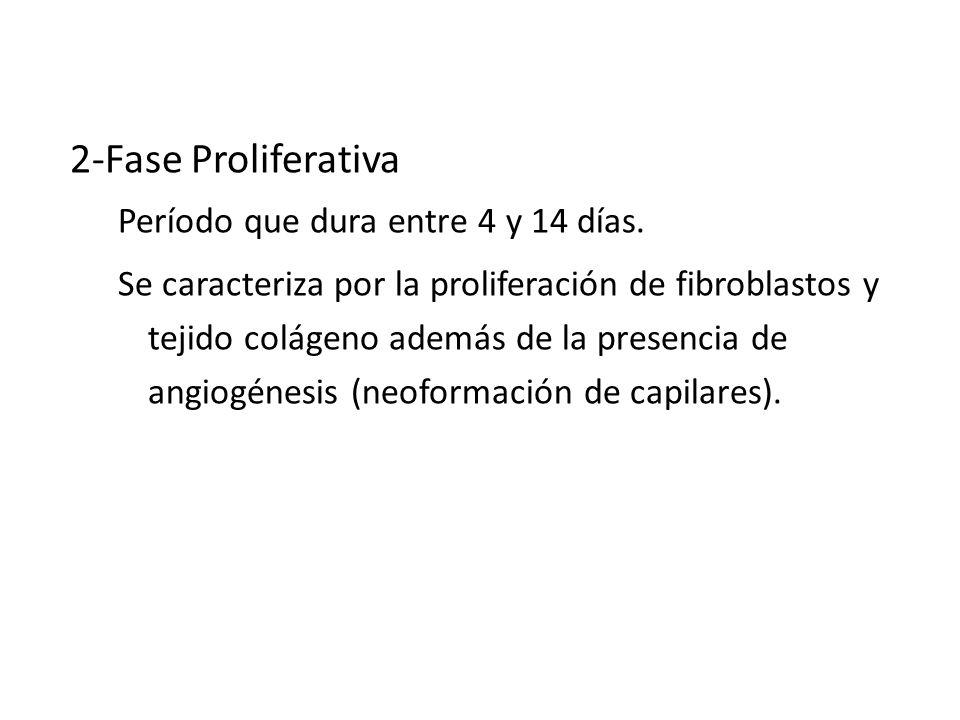 CICATRIZACION 2-Fase Proliferativa Período que dura entre 4 y 14 días.