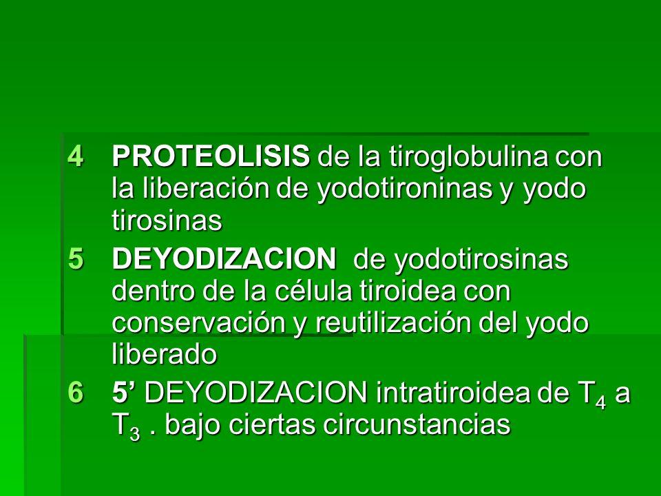 PROTEOLISIS de la tiroglobulina con la liberación de yodotironinas y yodo tirosinas