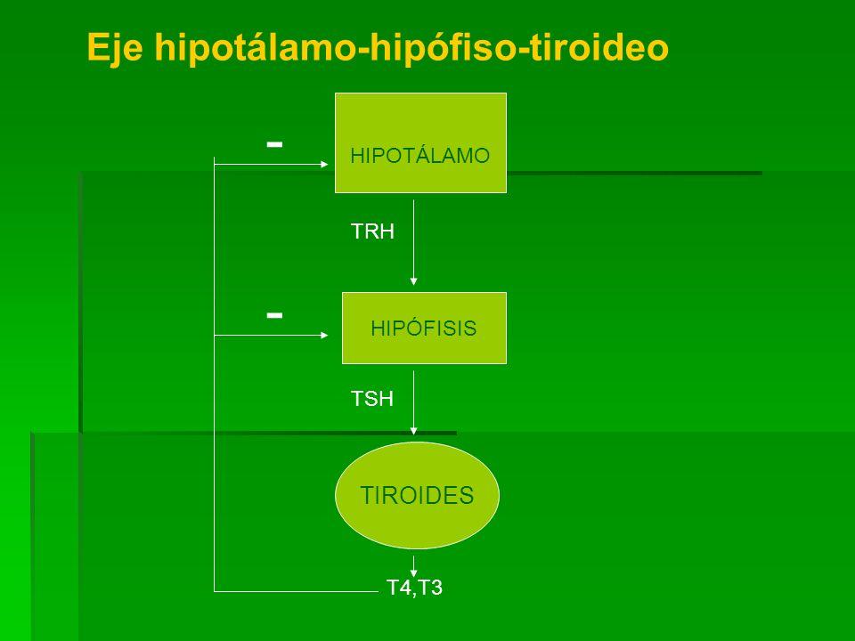 - - Eje hipotálamo-hipófiso-tiroideo TIROIDES HIPOTÁLAMO TRH HIPÓFISIS