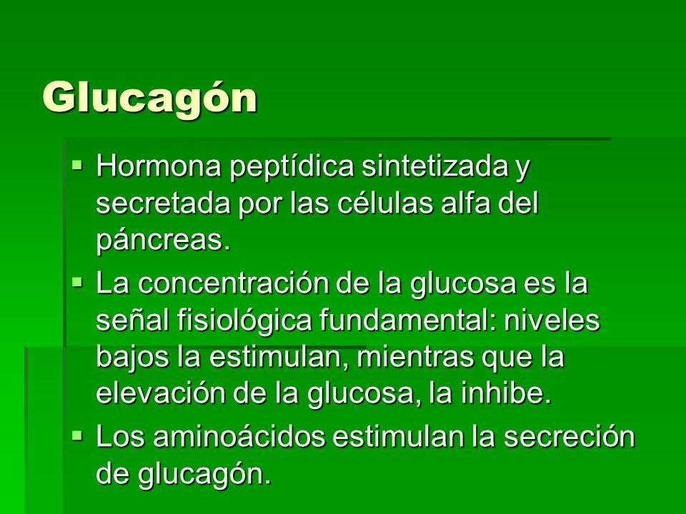 Glucagón Hormona peptídica sintetizada y secretada por las células alfa del páncreas.