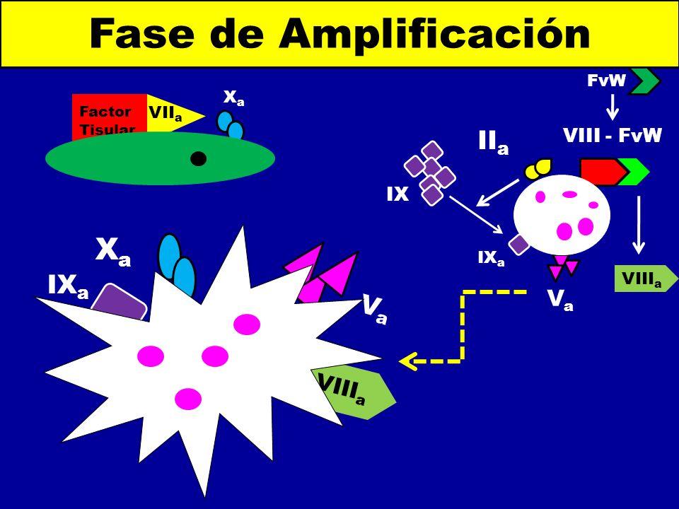 Fase de Amplificación Xa IIa IXa Va Va VIIIa VIII - FvW IX FvW Xa VIIa