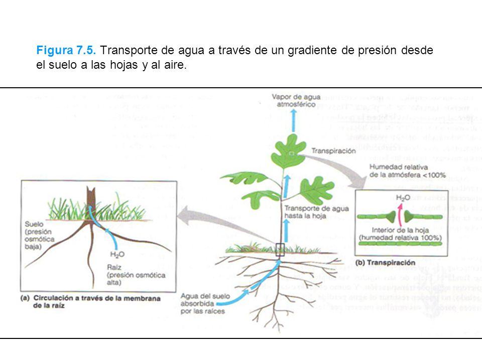 Figura 7.5. Transporte de agua a través de un gradiente de presión desde el suelo a las hojas y al aire.