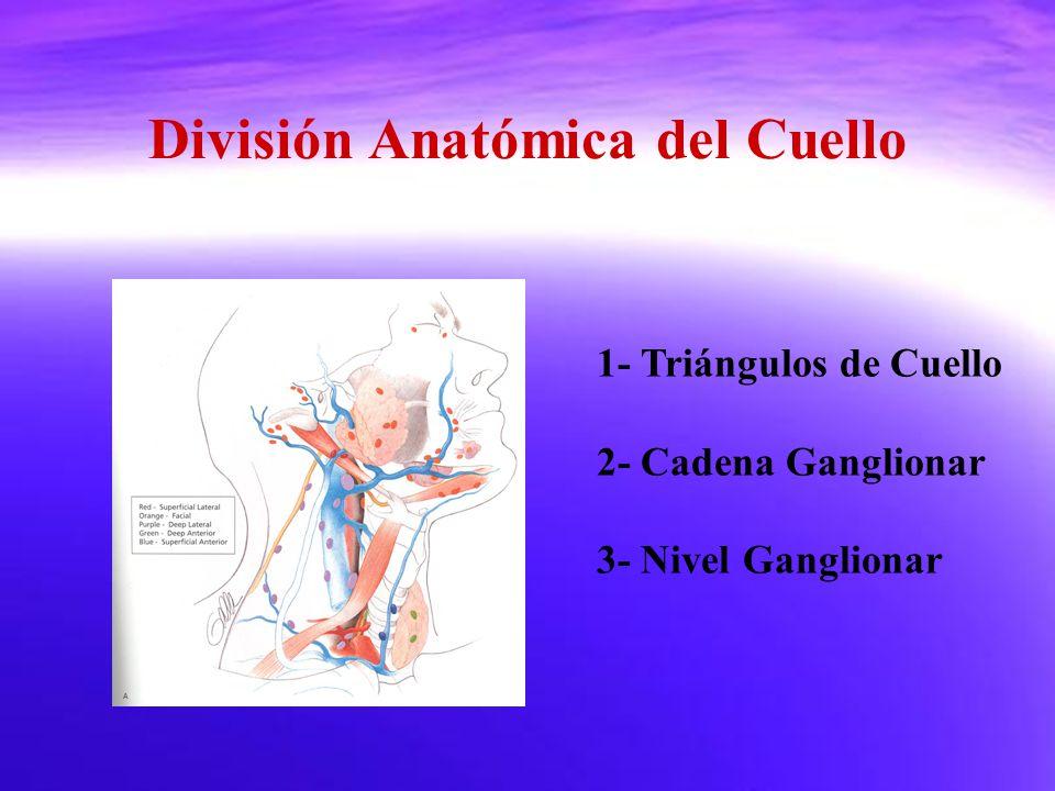 División Anatómica del Cuello