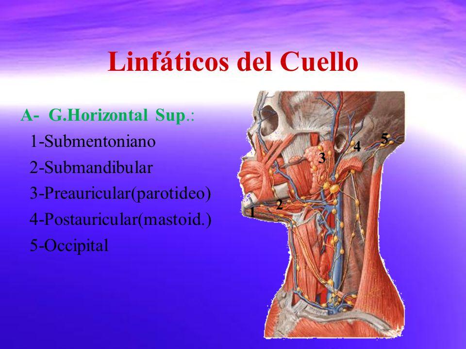 Linfáticos del Cuello A- G.Horizontal Sup.: 1-Submentoniano