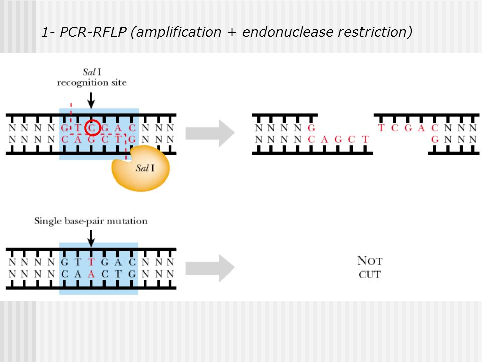 1- PCR-RFLP (amplification + endonuclease restriction)