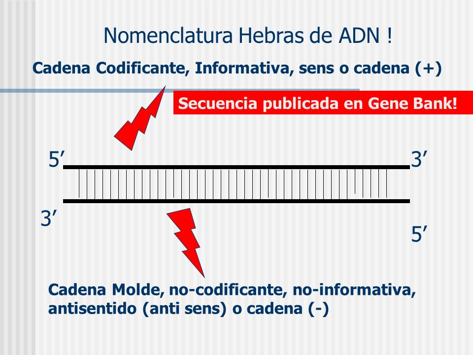 Nomenclatura Hebras de ADN !