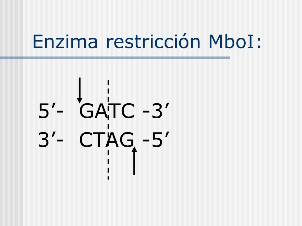 Enzima restricción MboI: