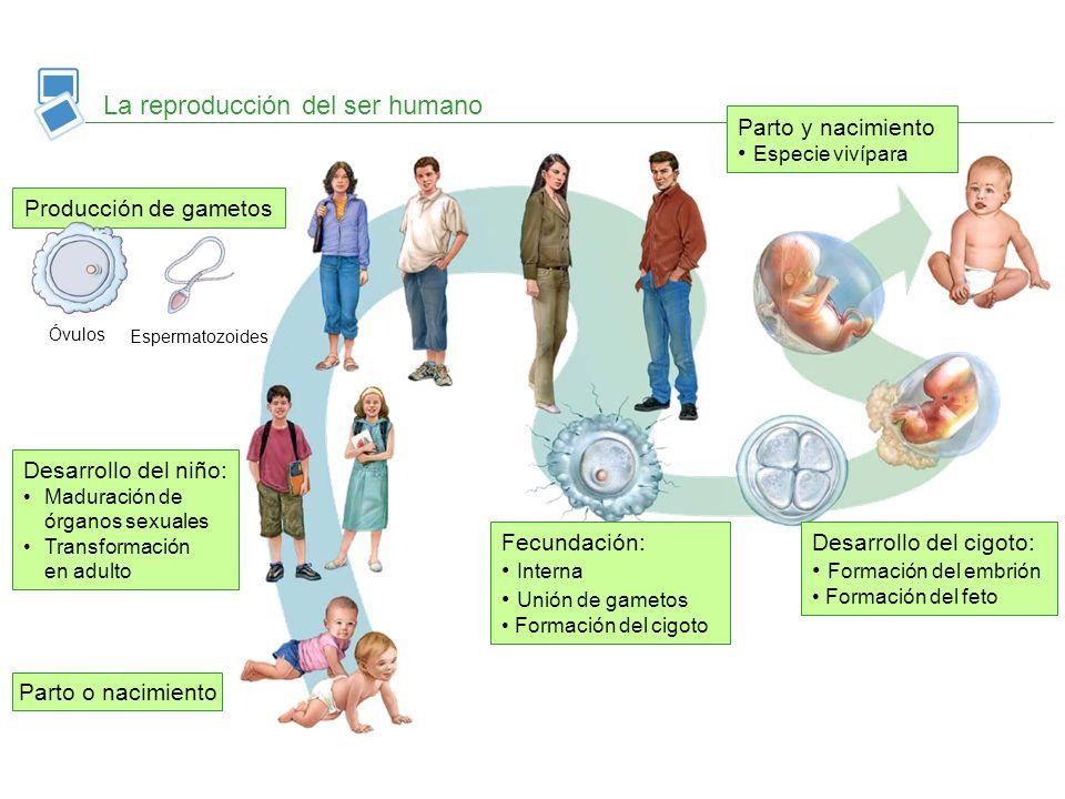 La reproducción del ser humano