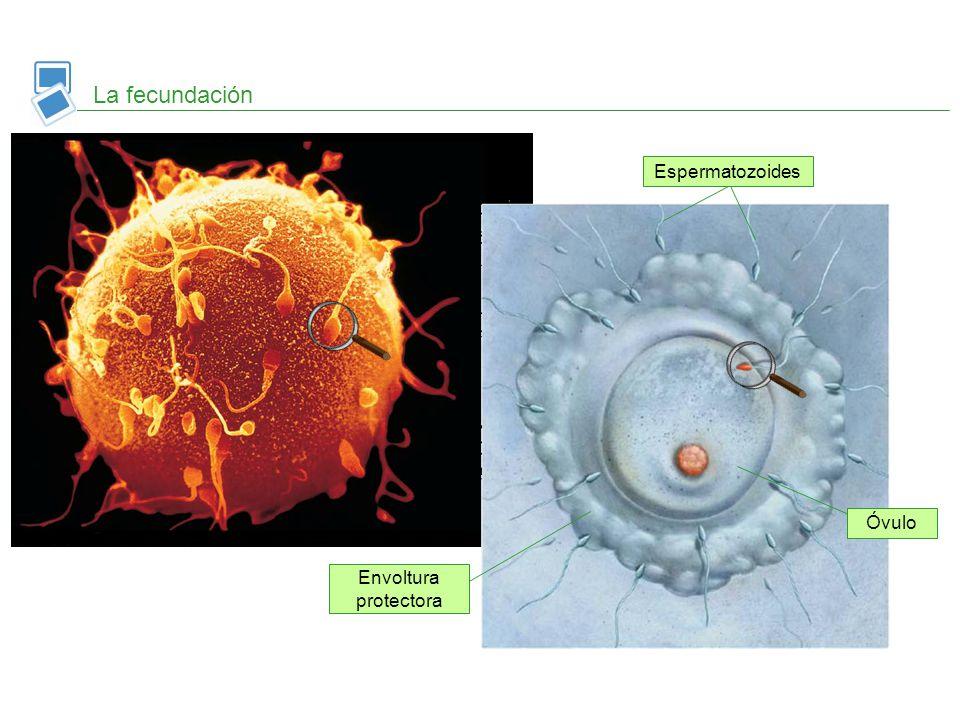 La fecundación Espermatozoides Óvulo Envoltura protectora