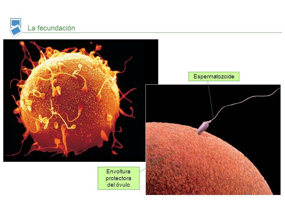 Envoltura protectora del óvulo