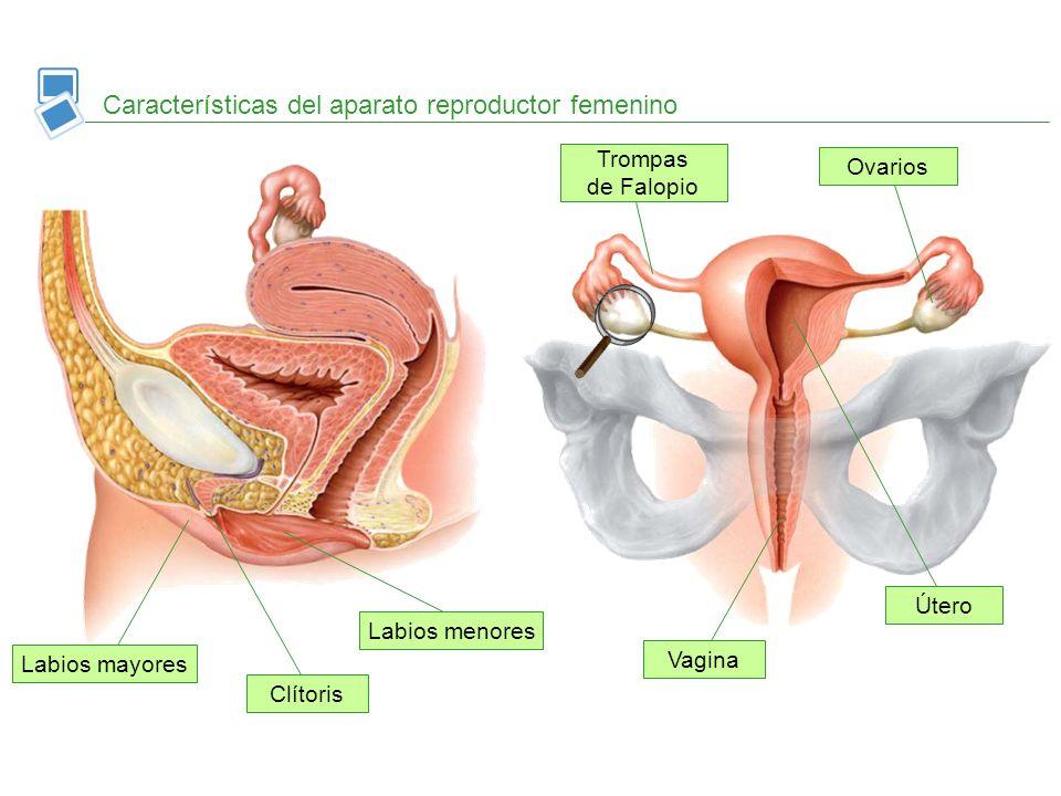 Características del aparato reproductor femenino
