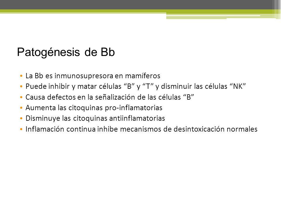 Patogénesis de Bb La Bb es inmunosupresora en mamíferos