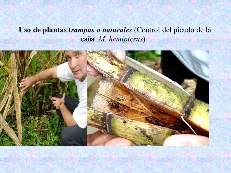 Uso de plantas trampas o naturales (Control del picudo de la caña M
