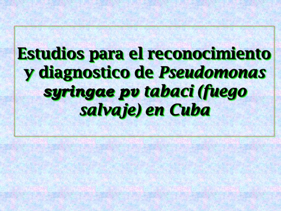 Estudios para el reconocimiento y diagnostico de Pseudomonas syringae pv tabaci (fuego salvaje) en Cuba