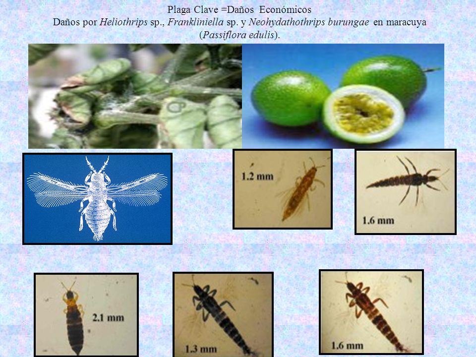 Plaga Clave =Daños Económicos Daños por Heliothrips sp