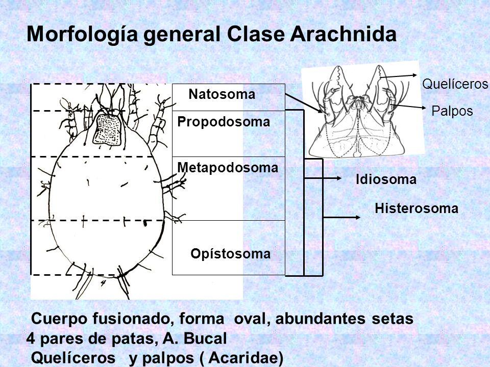 Morfología general Clase Arachnida