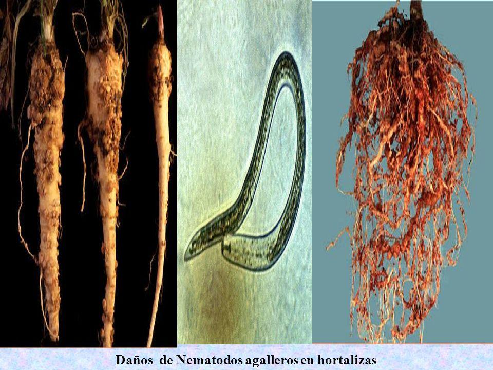 Daños de Nematodos agalleros en hortalizas