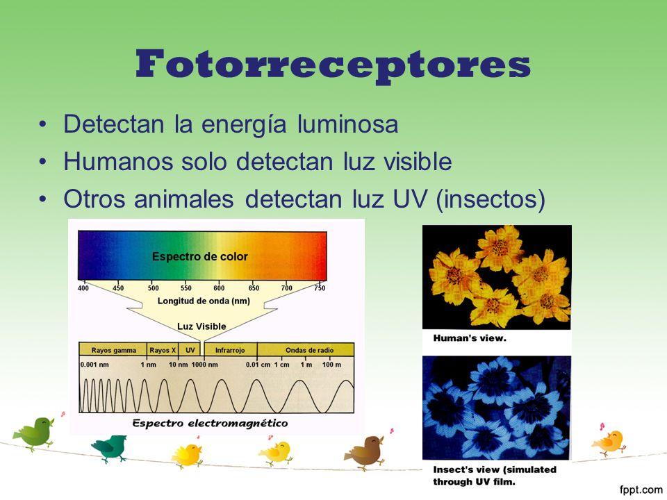 Fotorreceptores Detectan la energía luminosa
