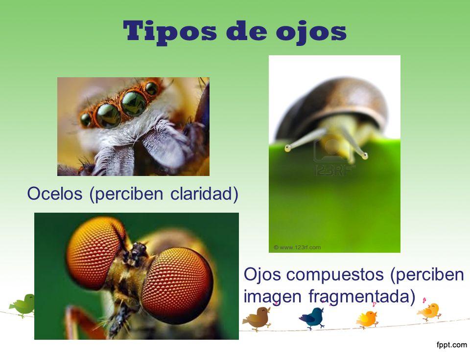 Tipos de ojos Ocelos (perciben claridad)