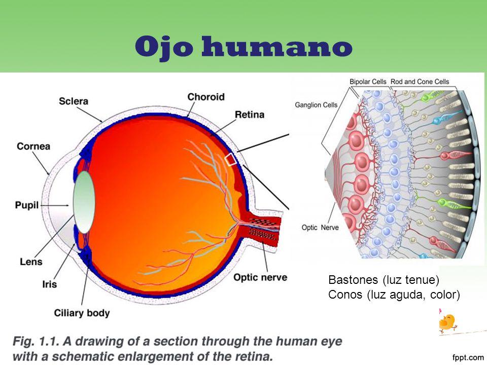 Ojo humano Bastones (luz tenue) Conos (luz aguda, color)