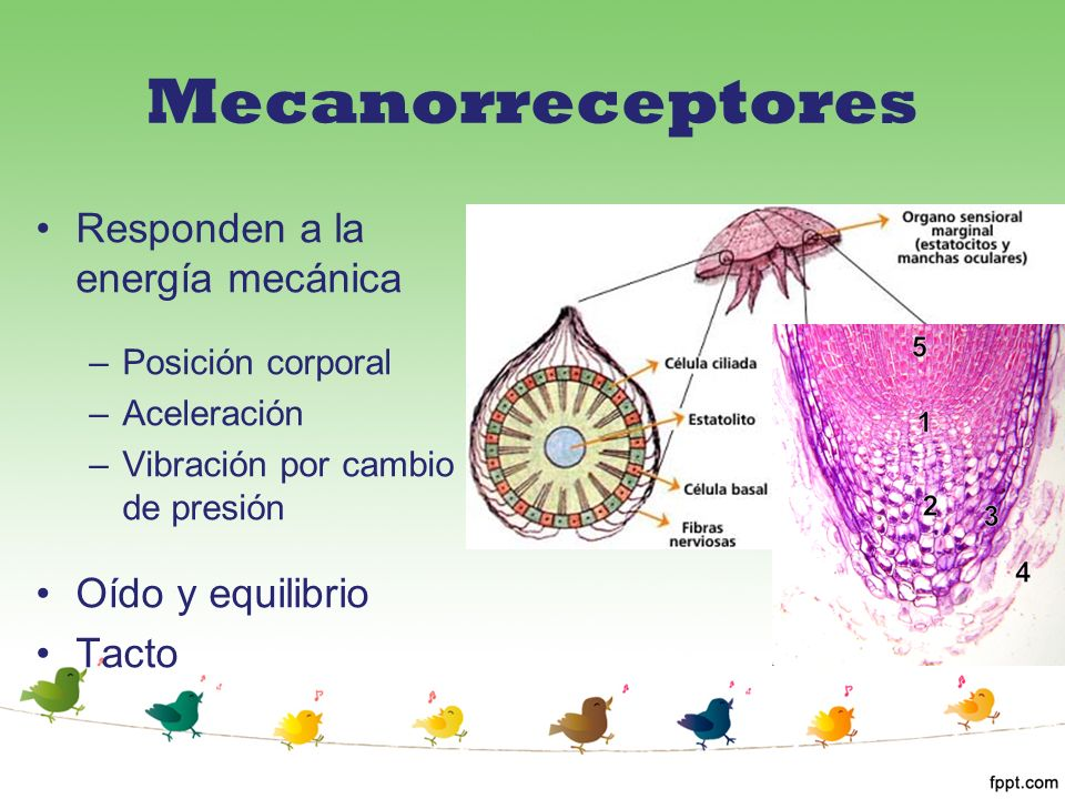 Mecanorreceptores Responden a la energía mecánica Oído y equilibrio