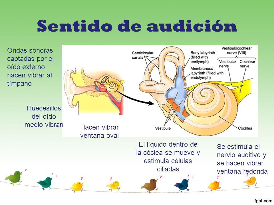 Sentido de audición Ondas sonoras captadas por el oído externo hacen vibrar al tímpano. Huecesillos del oído medio vibran.