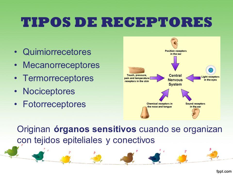 TIPOS DE RECEPTORES Quimiorrecetores Mecanorreceptores