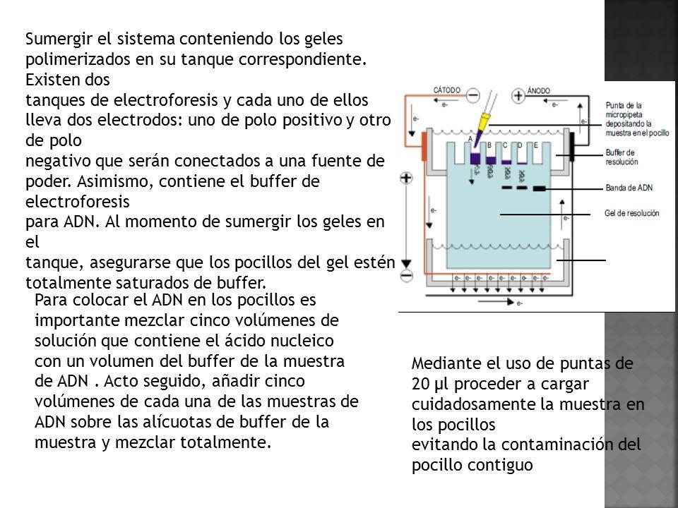 Sumergir el sistema conteniendo los geles polimerizados en su tanque correspondiente. Existen dos